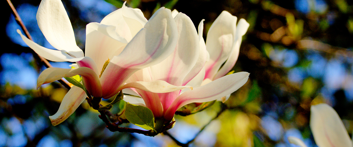 Tulip tree in bloom.